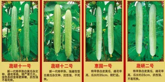 黄三文|科研工作者亲尝180000枚黄瓜叶片,终于破解黄瓜苦味谜题!