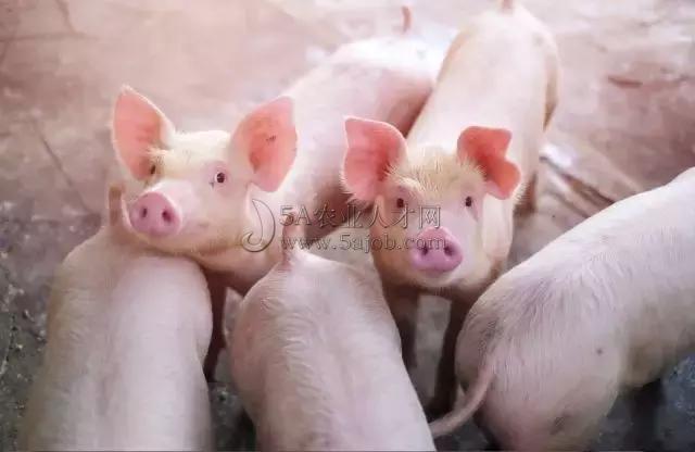 唐中林|马云、丁磊等跨界进军养猪业,猪产业发展潜力到底有多大?